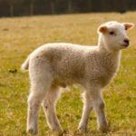 owieczka na zdjęciu